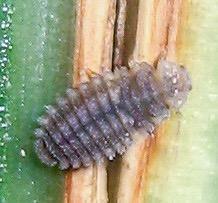 Larva - Diomus