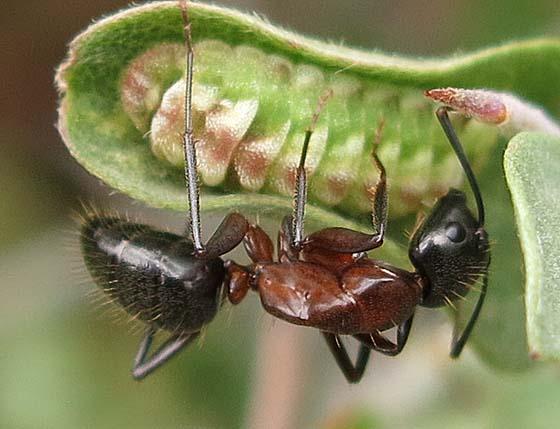 ant attending caterpillar - Camponotus vicinus
