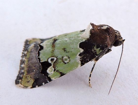 Arizona Moth - Bryolymnia marti