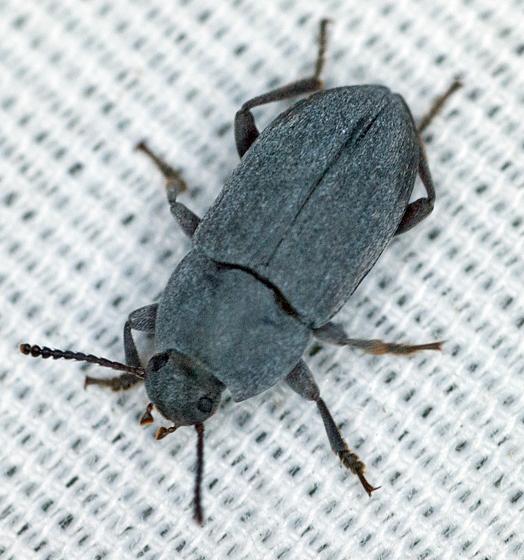 grey beetle - Blapstinus
