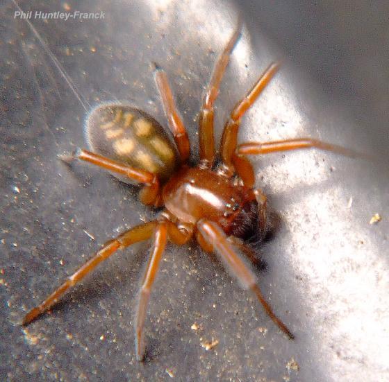 Unknown spider - Callobius - female