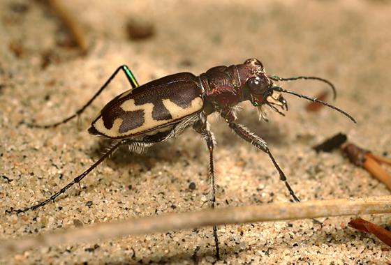 Big Sand Tiger Beetle - Cicindela formosa