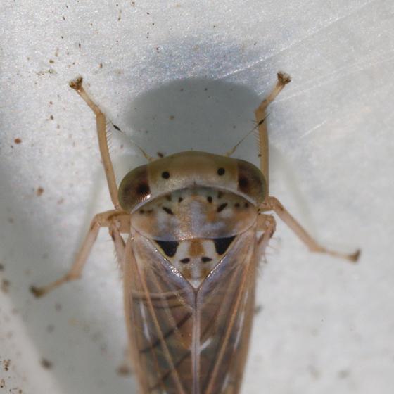 Unknown Cicadellidae - Idiocerus