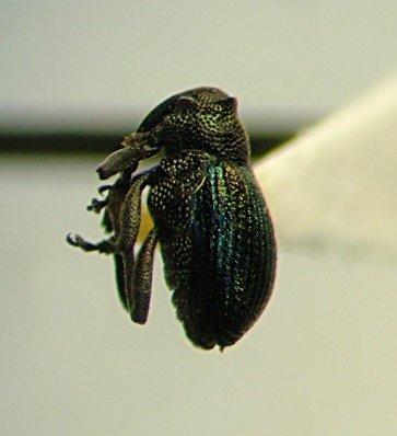 Weevil - Ceutorhynchus erysimi