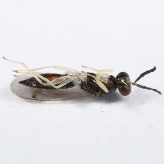 Parasitoid of witch hazel leafroller - Sympiesis - female