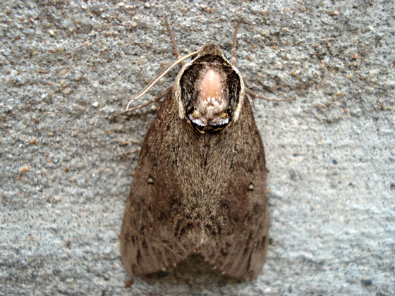 Unidentified Moth - Ceratomia catalpae