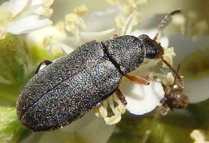 black beetle - Mycterus canescens