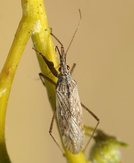 Damsel Bug - Nabis