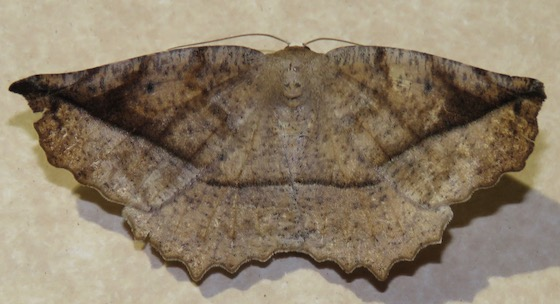 Curve-toothed Geometer - Hodges#6966 - Eutrapela clemataria