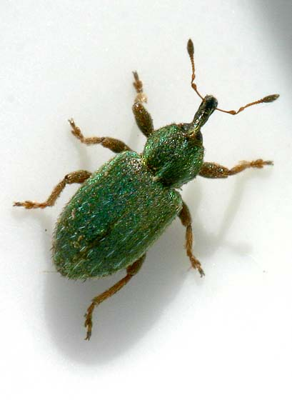Green Weevil - Hypera nigrirostris