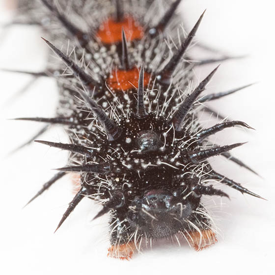 Black Caterpillar with Red Spots - Nymphalis antiopa