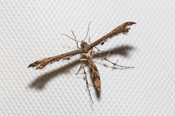 Michaelophorus indentatus