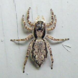 Florida Spider - Menemerus bivittatus - female