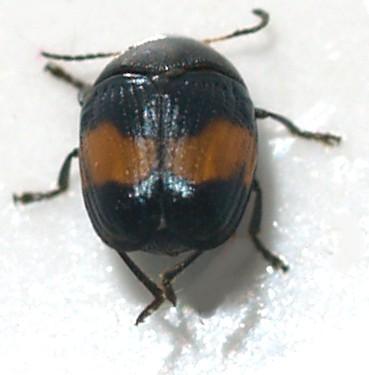 Chrysomelidae, Lexiphanes? - Lexiphanes