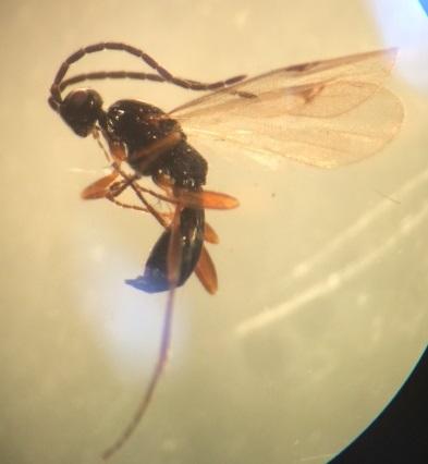 Proctotrupidae - Exallonyx - male