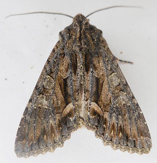 Moth - Fishia discors