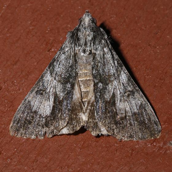 Merry Melipotis Moth - Melipotis jucunda