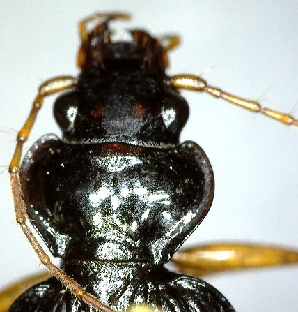 Carabid - Nebria pallipes