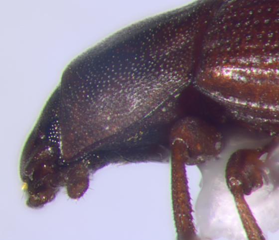 Tenebrionidae, head & pronotum, lateral - Cynaeus angustus