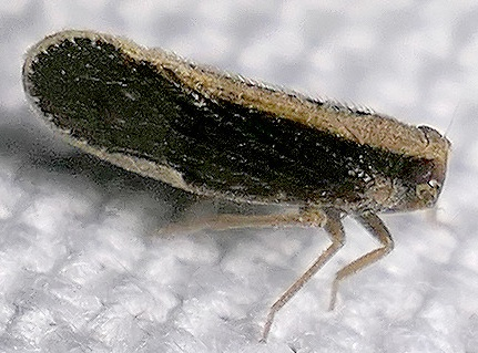 planthopper - Pintalia delicata