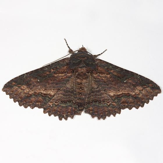 moth - Zale lunata