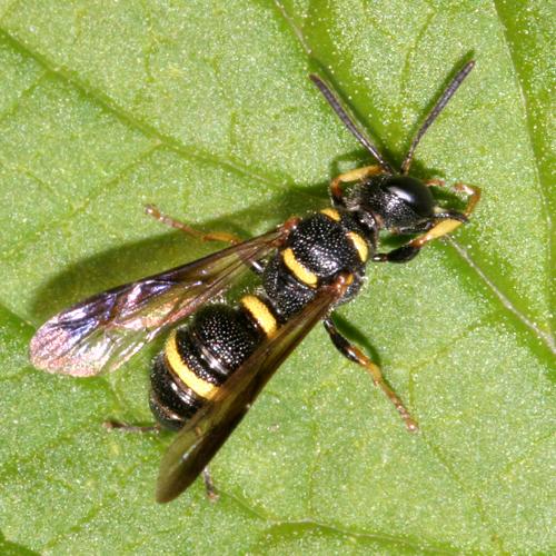 Weevil wasp - Cerceris insolita