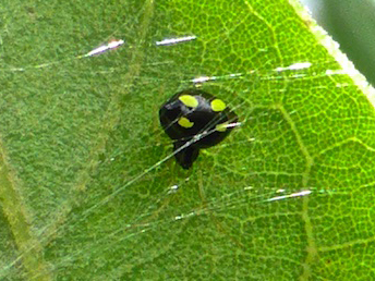 Small black spider with yellow spots - Theridula gonygaster
