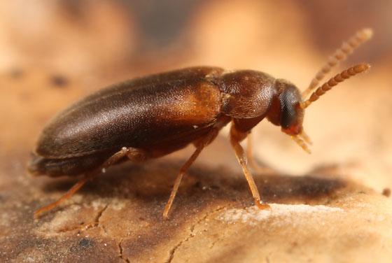 small beetle on fungus - Hallomenus scapularis
