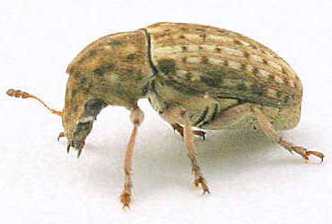 Beetle - Trigonorhinus limbatus