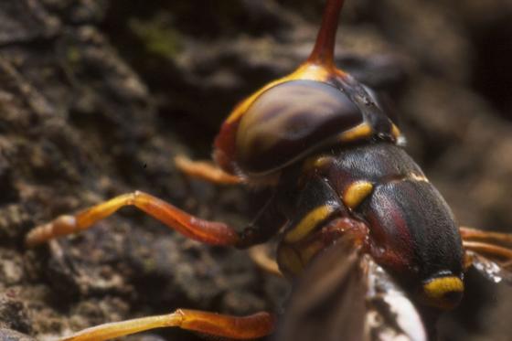 wierd looking wasp/fly - Monoceromyia floridensis - female