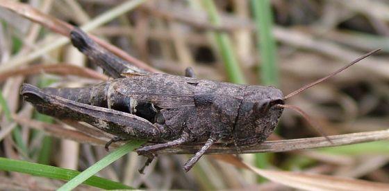 Young Grasshopper? - Chloealtis conspersa - female