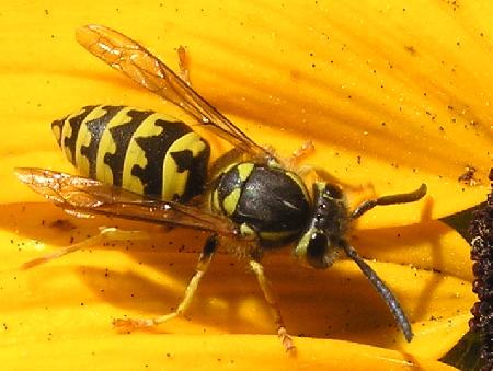 Is this a Sandhills Hornet? - Vespula pensylvanica - female