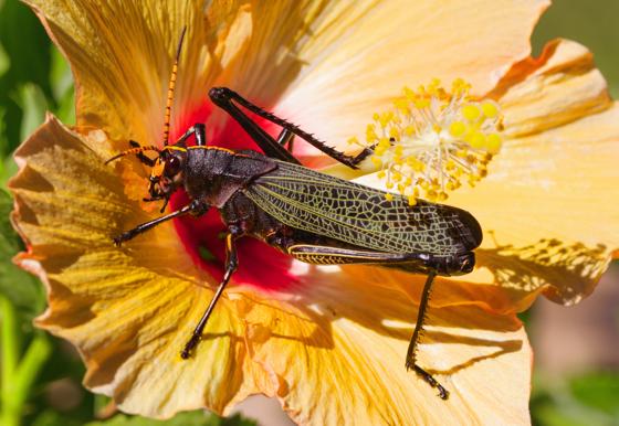 black and yellow Grasshopper - Taeniopoda eques