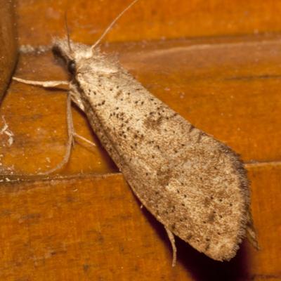 Tubeworm Moth - Hodges #0366 - Acrolophus mortipennella