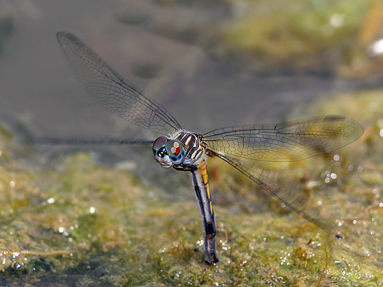 Blue Dasher Laying Eggs - Pachydiplax longipennis - female