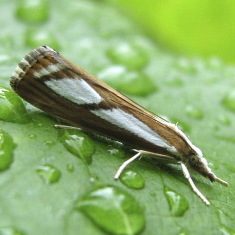 Catoptria latiradiella - Catoptria latiradiellus