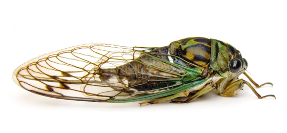Tibicen robinsonianus - Neotibicen robinsonianus