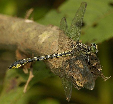 Cherokee Clubtail - Stenogomphurus consanguis - female