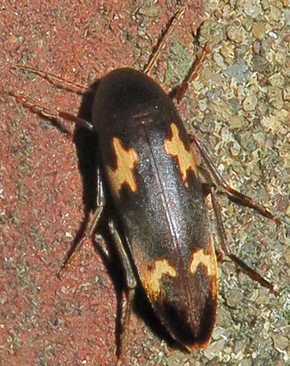 False Darkling Beetle - Dircaea liturata