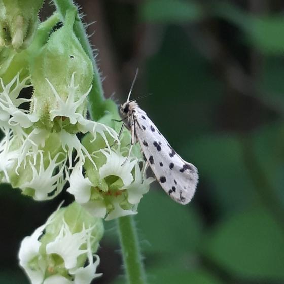 Moth - Greya