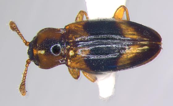 Endomychidae, dorsal - Phymaphora pulchella - female