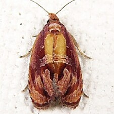 Zomaria rosaochreana