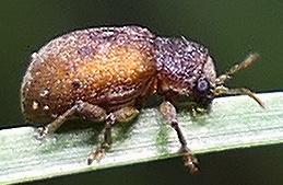 tiny leaf beetle - Xanthonia