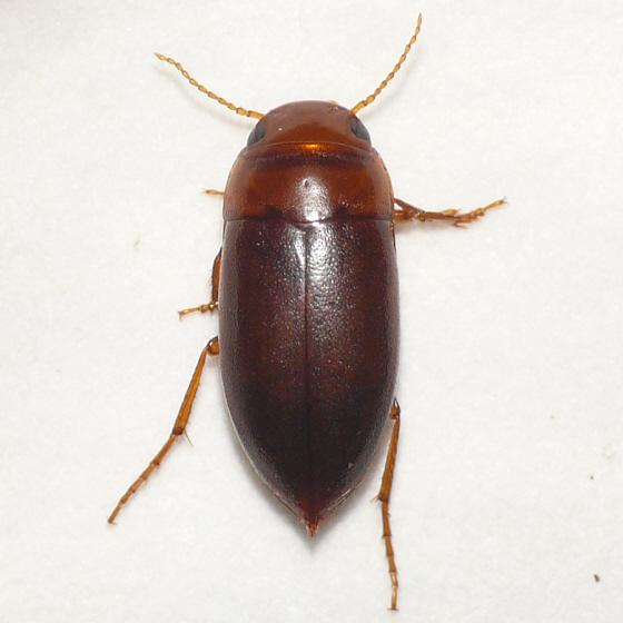 Diving beetle - Celina imitatrix
