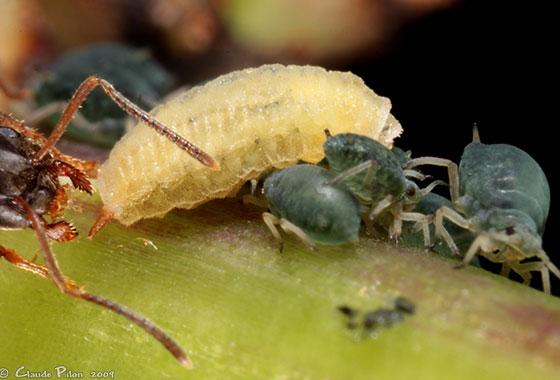 Larva - Leucopis