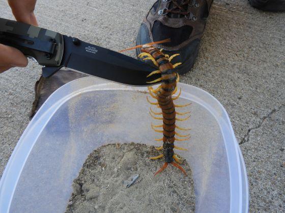 Arizona Giant Desert Centipede - Scolopendra heros