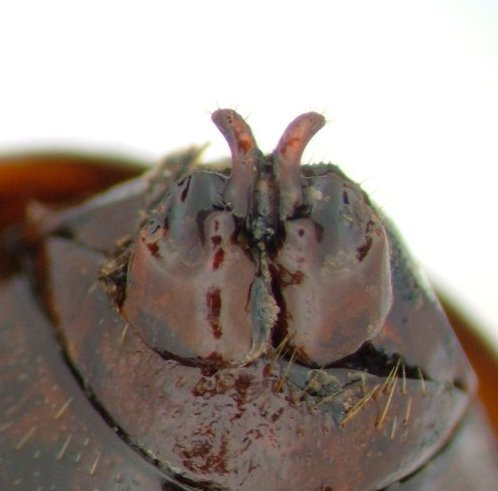 Phyllophaga bipartita - female