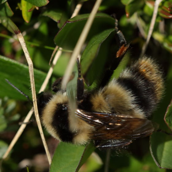 More of the hairs - Bombus balteatus - female