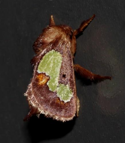 oak-slug moth - Euclea nanina