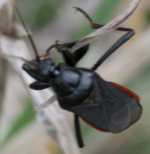Unknown red and black bug - Melanolestes picipes